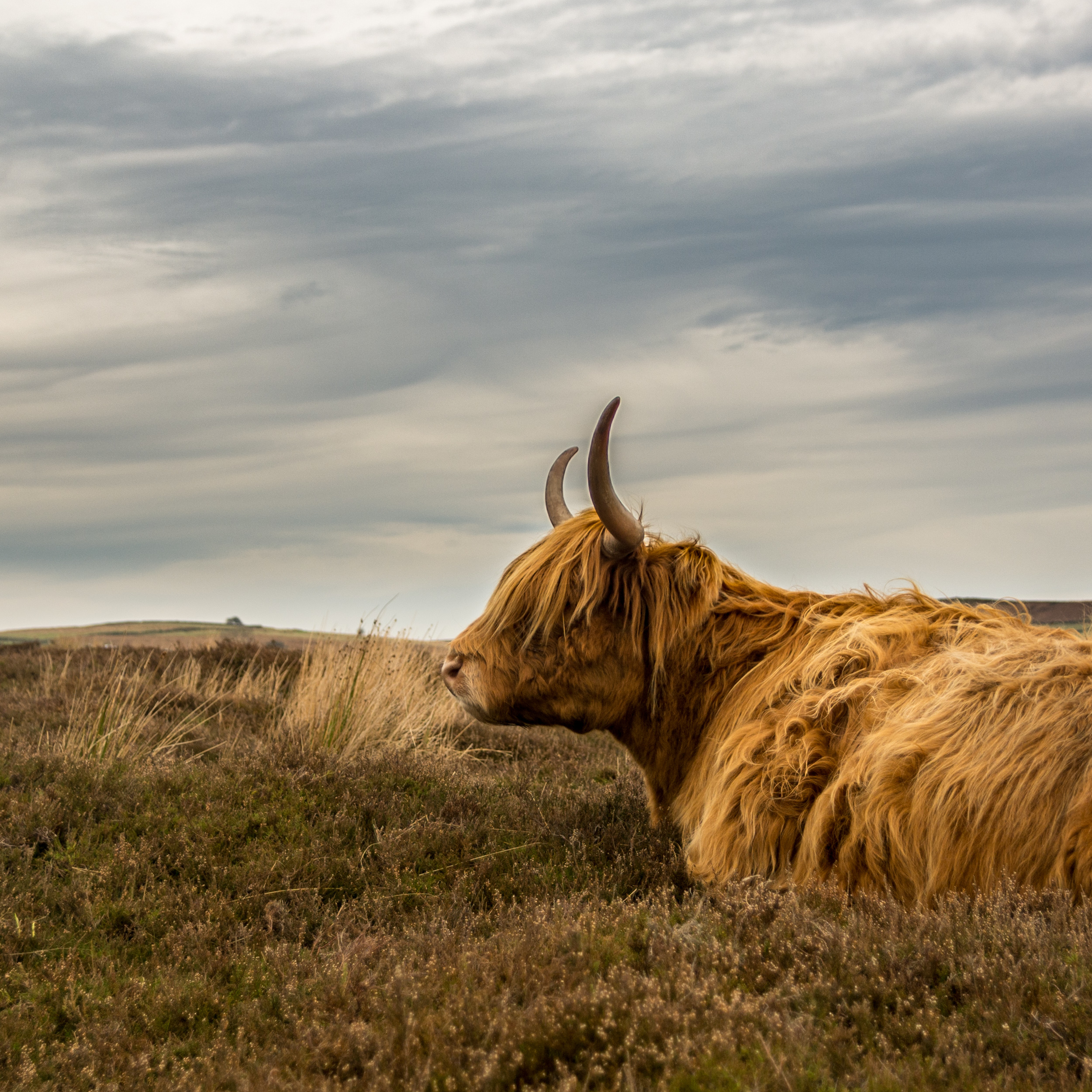 Highland cow sat down on the moorland of the Peak District