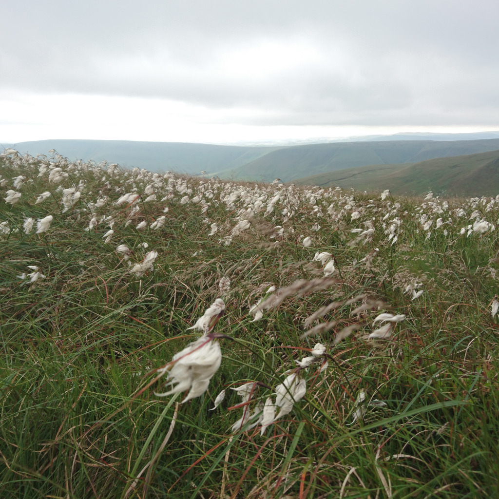 Cotton grass blowing in the wind, Peak District