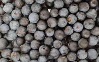 Sloe berries freshly picked