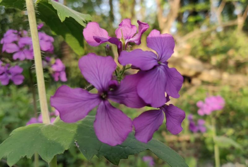 Annual Honesty flower in bloom