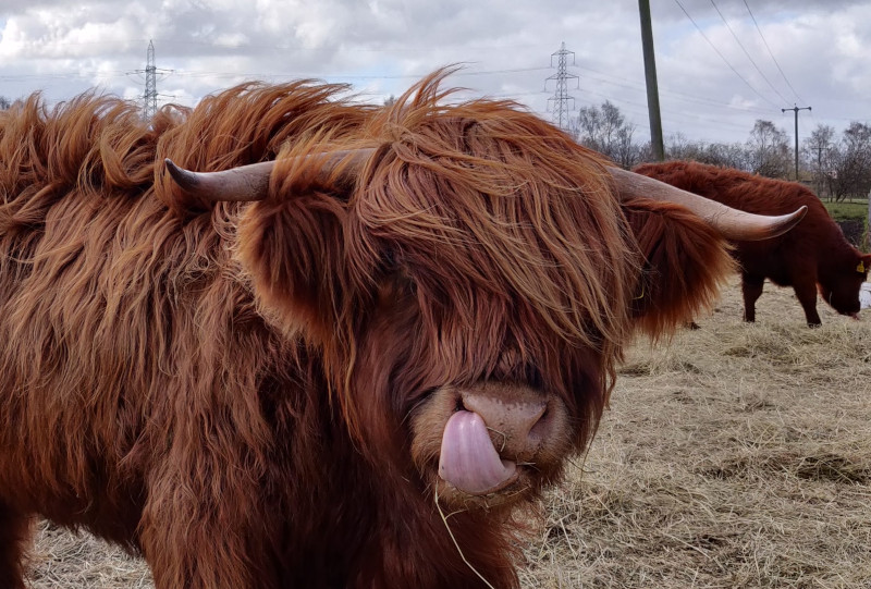 Close up Highland cow with his tongue out