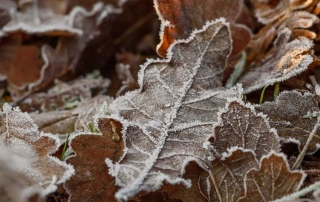 Frosty brown autumn leaves