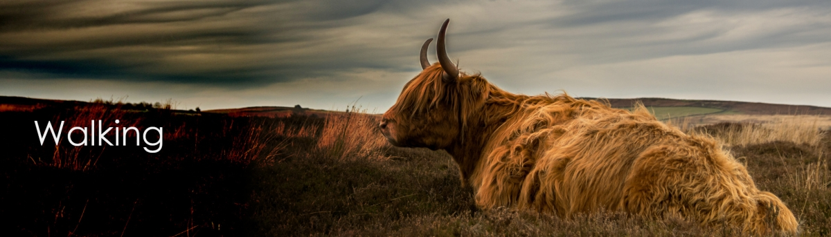 Image of highland cow sitting on moorland with the text Guided group walks