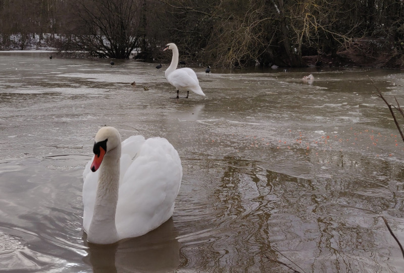 Swans on a icy pond