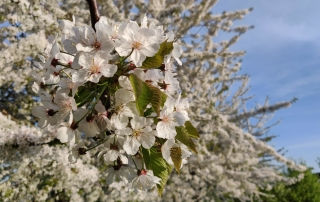 White cherry blossom in bloom with blue skies